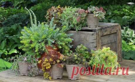 Виды садовых очитков – фото, названия и популярные сорта | Прочие многолетники (Огород.ru)
