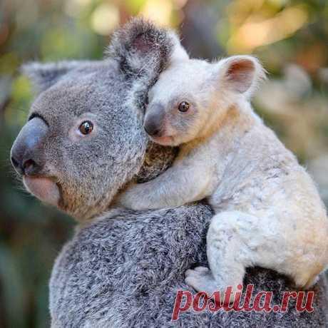 Появившаяся на свет коала отличается от других малышей очень светлым мехом, но назвать ее альбиносом нельзя. 🐨