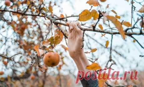 Уход за яблоней осенью – советы по правильной подготовке дерева к зиме | Яблоня, груша (Огород.ru)