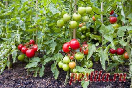 15 секретов выращивания томатов в открытом грунте. Полив, мульча, подкормки. Фото — Ботаничка.ru