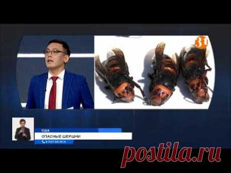 Новая угроза из Азии: смертельно опасные шершни-убийцы