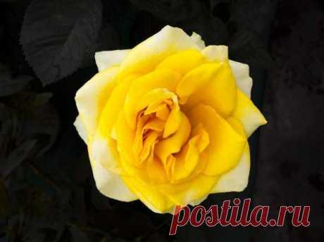 Генетики раскрыли секрет аромата розы Международная группа ученых расшифровала геном розы, получив своего рода «родословную» этого растения. Ученым потребовалось восемь лет насеквенирование генома чайной розы (Rosa chinensis). Считается, что именно эта ароматная роза первой попала вЕвропу изВосточной Азии вXVIIIвеке. Вобщей сложности специалистам удалось установить более 36тысяч генов, кодирующую различные характеристики растения. Полученная информация поможет селек...