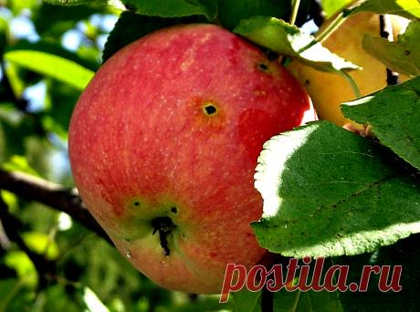 Что нужно сделать с яблоней осенью, чтобы избавиться от Плодожорки уж наверняка, и на весь сезон | Рукоделкино | Яндекс Дзен