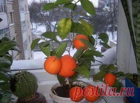 Как посадить дерево мандарина в домашних условиях Выбор грунта Правильный уход за комнатным мандарином предполагает в первую очередь выбор подходящего грунта. Для цитрусовых продается специальная почва (рН должен быть нейтральный: 6,5–7), но при жела...