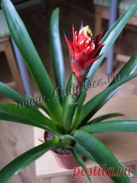 Гусмания (Guzmania) - комнатные растения и цветы для сада: выращивание, местоположение, температура, полив, пересаживание, размножение, болезни и вредители