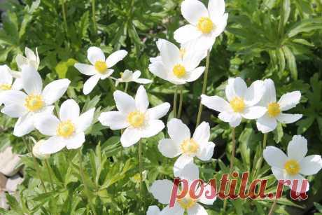 Анемона лесная – неприхотливый многолетник для сада