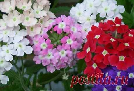 Вербена лекарственная - польза и вред Вербена лекарственная – травянистое растение или полукустарник, обладающий прямостоячим или стелющимся стеблем, вырастающим до 100 см. Листья растения маленькие, супротивные, продолговатые. Мелкие цветки собраны в соцветия-метелки. Цветки вербены могут быть разных цветов и оттенков.