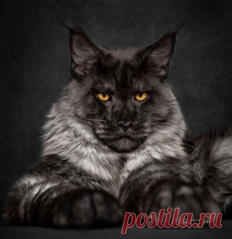 Потрясающие портреты кошек от Robert Sijka — Фотоискусство