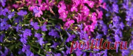 Цветы лобелии из семян: когда сажать и как выращивать | Блоги о даче, рецептах, рыбалке