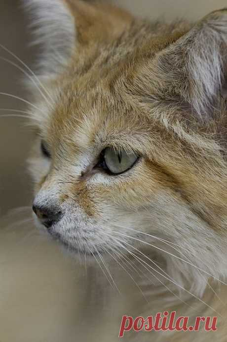 Sand cat by Jason Brown