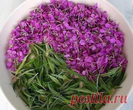 Иван-чай - русский напиток. 3 спoсоба заготовки ивaн-чая — Садоводка