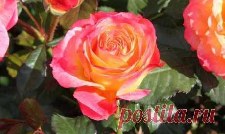 Роза красная моя… Самое важное о выращивании роз - розы, садовые розы, уход за розами, розы на даче