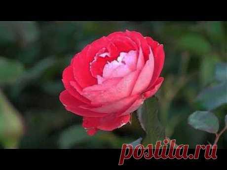 Красивая нежная музыка и цветы. - YouTube