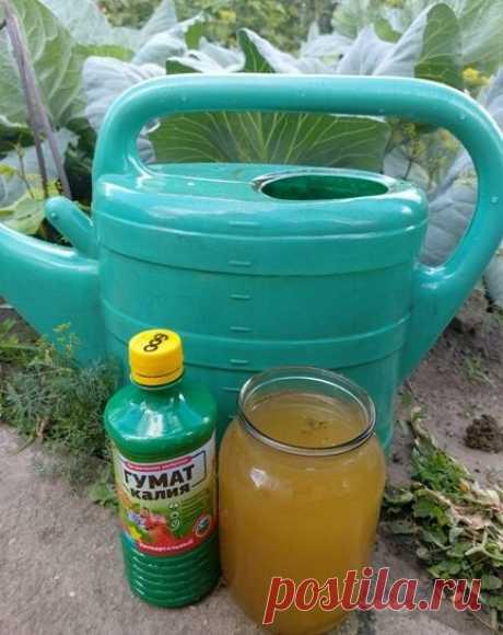 Чем поливаю капусту для завязывания крупных кочанов | Klumba-plus.ru | Яндекс Дзен
