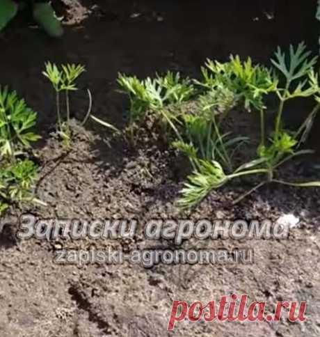 Как сеять морковь в открытый грунт чтобы не прореживать • zapiski-agronoma.ru