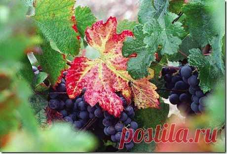 Подготовка винограда к зимовке | Полезный сайт добрых советов