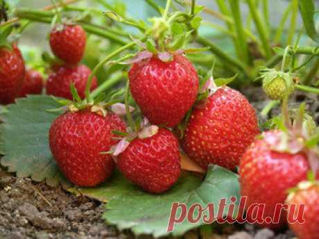 El menú para la fresa a toda la temporada | el canal U-de campo los consejos de Ariny | Yandeks Dzen