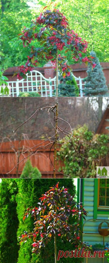 Плакучая яблоня | Дачная жизнь - сад, огород, дача