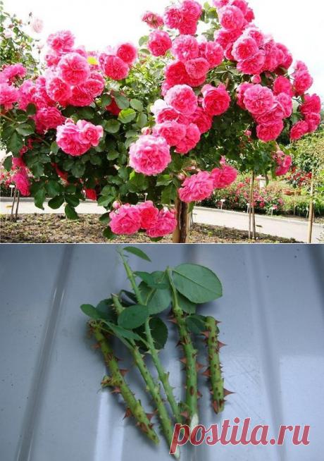 Размножение роз черенками: можно сажать даже под зиму. Высокая приживаемость и минимум возни | Наша Дача | Яндекс Дзен