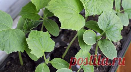 Советы по выращиванию рассады огурцов