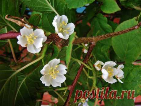 Актинидия цветет