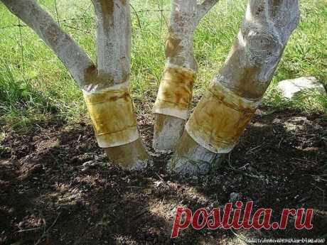 ЛОВЧИЕ ПОЯСА НА ПЛОДОВЫХ ДЕРЕВЬЯХ ОТ ПЛОДОЖОРКИ  Сохраните, чтобы не потерять Ловчие пояса на плодовых деревьях это механический способ борьбы с яблонной плодожоркой и другими вредителями. Гусеницы, вышедшие из упавших плодов, будут подниматься на дерево и повреждать плоды и это будет продолжатся бесконечно.  Гусеница яблонной плодожорки живет 20-30 дней. Она может давать несколько поколений за лето. Урон она принесет ощутимый, поэтому не ждите ущерба, а сделайте ловчий по...