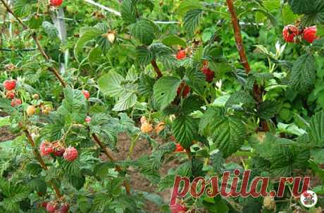 Урожай малины увеличился В 3 РАЗА, а ягоды стали крупными и сладкими, благодаря народной подкормке. Делюсь её рецептом | 6 соток