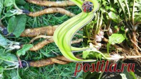 Три корня, которые все выбрасывают, как злостный сорняк, способны вернуть здоровье. | Дом, в котором хорошо | Яндекс Дзен