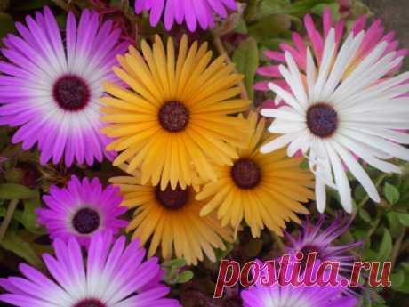 Цветы, похожие на «ромашку» — 6 соток