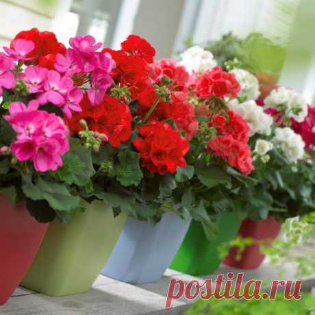 Герань: уход за цветком в домашних условиях, правила пересадки и полива (135 фото)