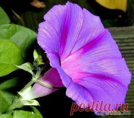 Красивоцветущие лианы на Вашем балконе.: Дневник группы «Ваш цветущий БАЛКОН!»: Группы - женская социальная сеть myJulia.ru