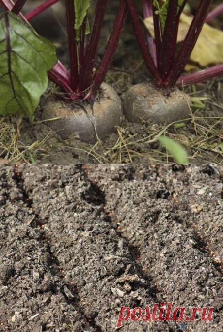 Посадка свёклы семенами в открытый грунт: как и когда сажать + фото и видео
