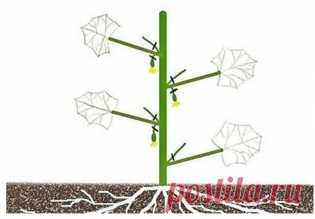 Формировка огурцов - без этого не обойтись. Пожалеешь нижние, останешься без верхнего урожая!  1. На первом этапе на нижней части растения в пазухах 3-5 листьев производится «ослепление». Удаляются все завязи и побеги, которые образуются в пазухах этих листьев. Это нужно для того чтобы растение направило все силы для формирования корневой системы, которая смогла бы в дальнейшем «прокормить» все растение.  2. На следующем этапе в пазухах следующих 3-5 листьев оставляем завя...