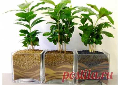 Como criar el café: ¿el cafeto a usted en la casa Como criar el café? Es necesario preparar las semillas, deben ser frescos, que han secado - no germinarán. Pero, esto todavía no todo. Semión es necesario limpiar y lavar.
