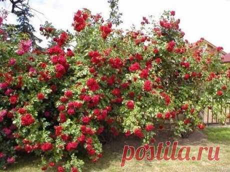 Как ухаживать за плетистыми розами? - Садоводка