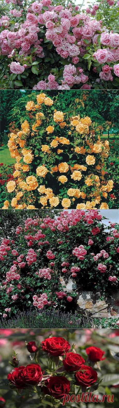 Выращивание плетистых роз..