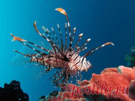 Рыбы-крылатки настолько распоясались в Атлантике, что экологам пришлось пойти на них с 9-миллиметровым «Глоком».