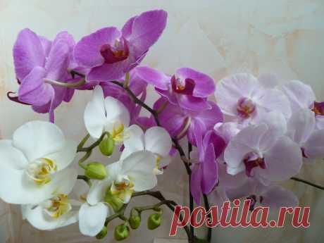 Орхидеи цветут как ненормальные. Живая вода для орхидей и не только. Если вам подарили орхидею, она отцвела и больше не выбрасывает цветонос, есть очень эффективный и проверенный способ, как заставить ее цвести снова.  https://youtu.be/4cXVLasgMHQ