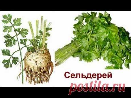 Корневой сельдерей и секреты его выращивания.