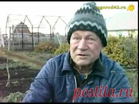 Укрытие винограда В. А. Домуховским