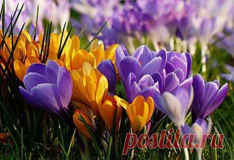 Крокусы: посадка весной в открытый грунт, выращивание и уход