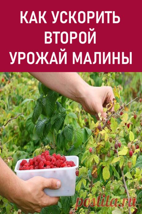 Как ускорить второй урожай малины. Не секрет, что многие осенние сорта малины успевают отдать лишь 60-70 % осеннего урожая. Повысить урожайность можно, ускорив это долгожданное плодоношение. #дача #сад #малина
