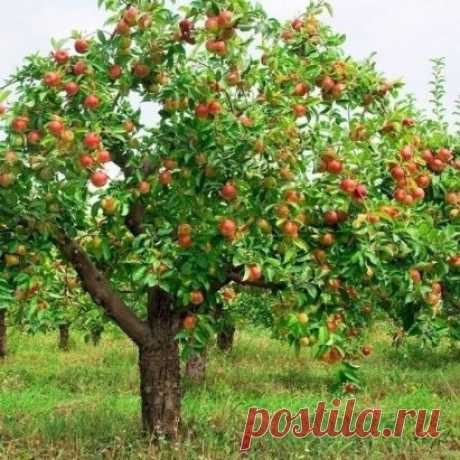 ЧТОБЫ ЯБЛОНИ БЫЛИ УРОЖАЙНЫМИ К сожалению, не всегда удаётся добиться хорошего урожая этих замечательных фруктов. Тому много разных причин, да и не все секреты выращивания здоровых урожайных яблонь лежат на поверхности… Но некоторыми из них мы готовы сегодня поделиться с вами.  СЕКРЕТ 1: ХОЧЕШЬ УРОЖАЙ – ВЕТКУ НАКЛОНЯЙ  Иногда здоровые сильные яблони, которые и поливают, и подкармливают, и защищают от вредителей, упорно отказываются плодоносить или радуют урожаем через год, а то и два. И садовод