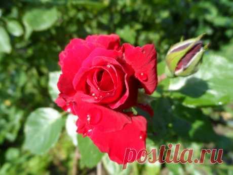 Роза с капелькам