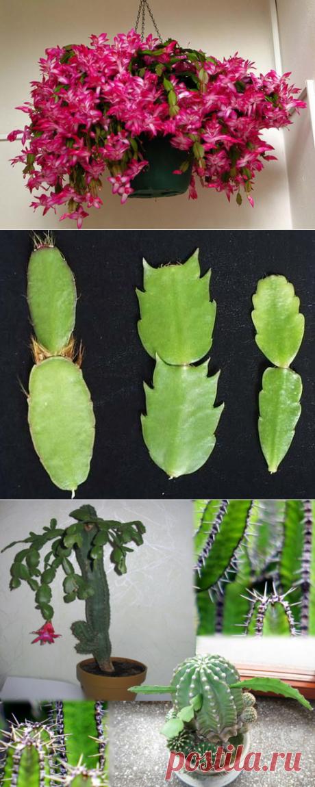 Цветок декабрист (шлюмбергера, зигокактус, рождественник): уход и размножение в домашних условиях + фото и видео