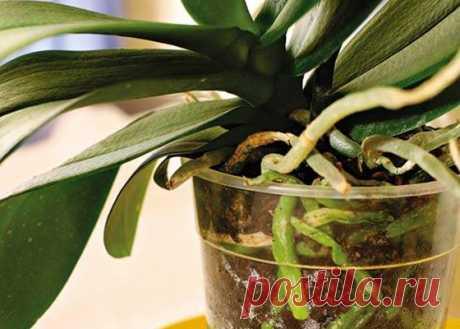 Как реанимировать орхидею, если сгнили корни? Способы реанимации