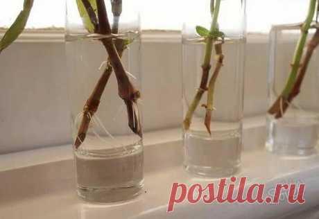 Укоренение любых черенков в воде: как увидеть корни, а не гниль | Идеальный огород | Яндекс Дзен