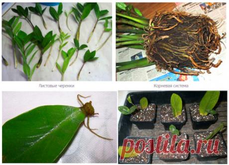 Как пересадить Замиокулькас в домашних условиях — выбор горшка и почвы