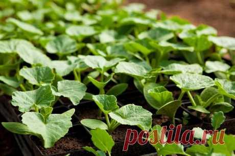 Особенности выращивания рассады кабачков и патиссонов  Кабачки и патиссоны выращивают рассадой не только в северных регионах, но даже на юге, чтобы получить максимально ранний урожай. И правильно делают, так как весной эти культуры стоят не намного дешев…