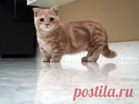 This Is A Munchkin Cat, Enjoy | Cutest Paw